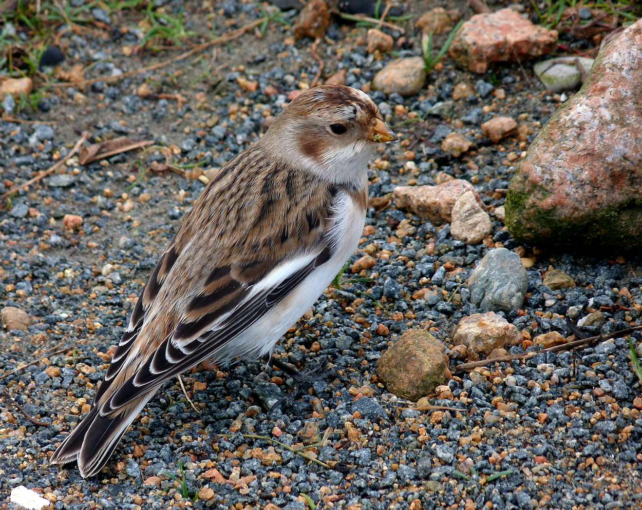 Snow Bunting Vaz 19Oct15 a