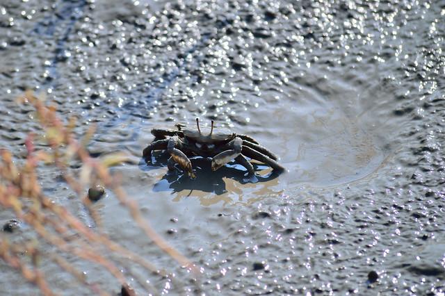 干潟に住む生物_カニ A crab
