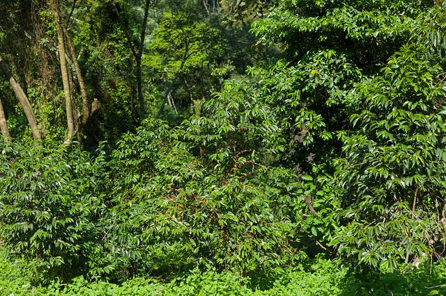 Coffee in the jungle