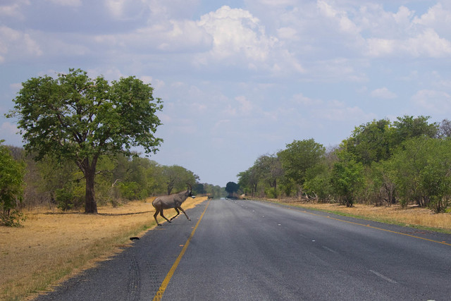 Roan antelope crossing the road