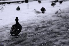 Ente, Duck II