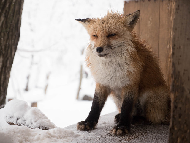近距離徹底療癒!日本藏王-狐狸村,還可以親手抱狐狸!滿滿的感動啊! @3C 達人廖阿輝