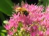 Honeybee by Builder1975