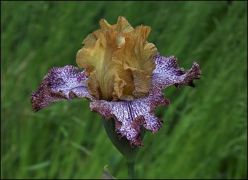 Iris Temporal Anomaly (3)