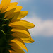 The View From a Sunflower by KellarW