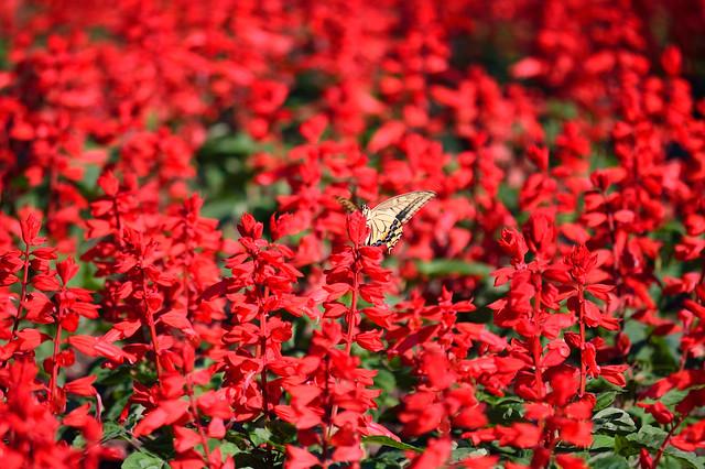 サルビアにとまるキアゲハ Old World Swallowtail