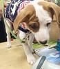 Spencer's puppy wrinkles made us all swoon! #dogsofinstagram #puppylove #puppies #portland #maine #thefishandbone
