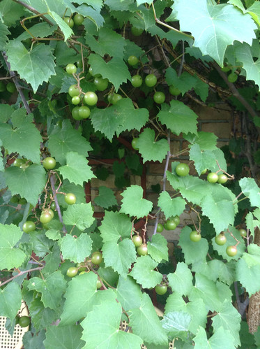 Grapes - Muscadine IGFB