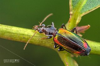 Ground beetle (Carabidae) - DSC_8962