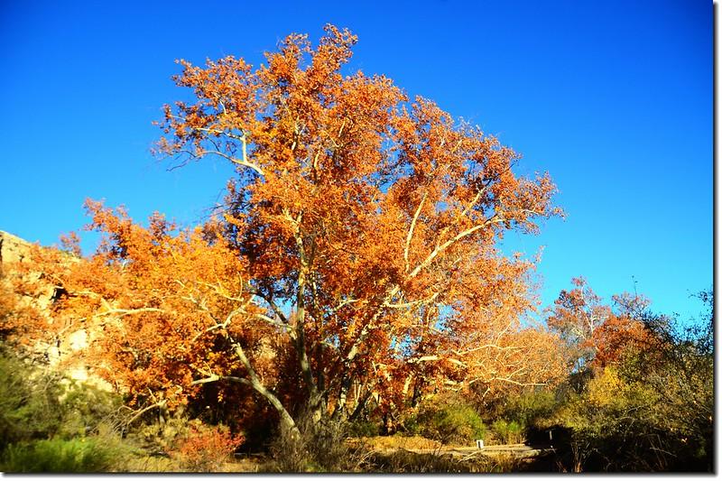 Arizona Sycamore 2
