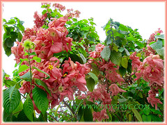 Eye-catchy salmon-pink bracts of Mussaenda philippica 'Dona Luz', Feb 8 2014