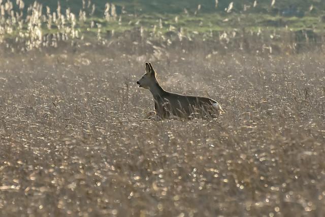 Deer in action