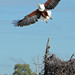 African Fish Eagle (Eric Browett)