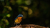 Hill Blue Flycatcher (Cyornis Banyumas)