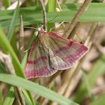 Small Purple Banded Moth (Phytometra viridaria)