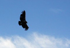 eagle(0.0), animal(1.0), bird of prey(1.0), wing(1.0), raven(1.0), crow(1.0), blue(1.0), accipitriformes(1.0), sky(1.0), bird(1.0), flight(1.0), condor(1.0),