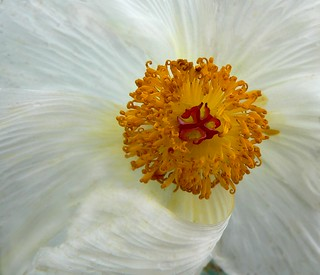 Crested Pricklypoppy