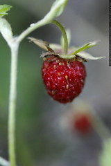 wild strawberry    MG 8728