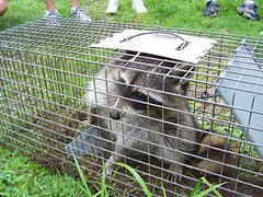 Raccoon in the trap Thursday morning!