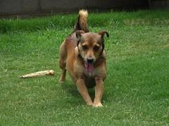 german shepherd dog(0.0), dog breed(1.0), animal(1.0), dog(1.0), pet(1.0), mammal(1.0), belgian shepherd malinois(1.0),