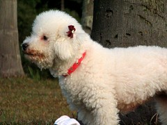 standard poodle(0.0), bichon frisã©(0.0), dandie dinmont terrier(0.0), toy poodle(1.0), miniature poodle(1.0), dog breed(1.0), animal(1.0), dog(1.0), schnoodle(1.0), pumi(1.0), pet(1.0), lagotto romagnolo(1.0), glen of imaal terrier(1.0), poodle crossbreed(1.0), goldendoodle(1.0), spanish water dog(1.0), bolognese(1.0), carnivoran(1.0), terrier(1.0),