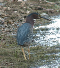 animal(1.0), fauna(1.0), green heron(1.0), heron(1.0), beak(1.0), bird(1.0), wildlife(1.0),