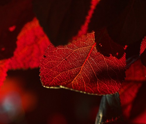 california light sunset red usa leaves america blood bokeh stunning through pasing tamronspafdi90mm