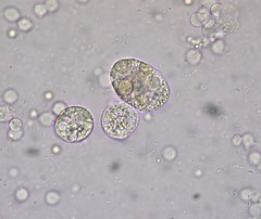urine microscopy images with name pdf