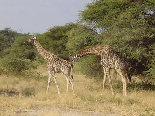 Giraffe mating season   Flickr - Photo Sharing!  Giraffe mating ...