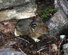 animal, rodent, mouse, fauna, muroidea, degu, wildlife,