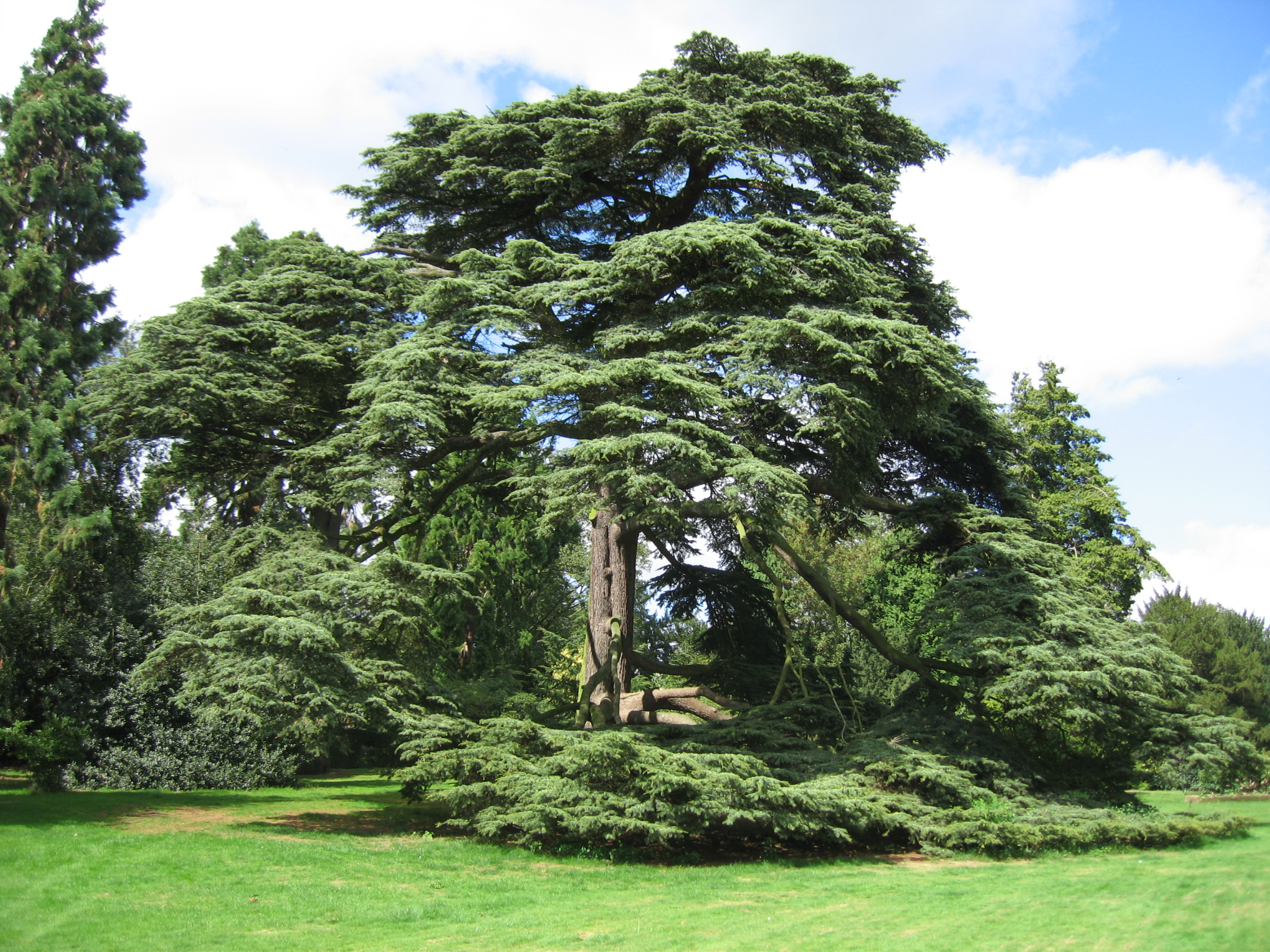 cedar of lebanon  warwick castle grounds flickr photo angel clipart free download black angel clipart images