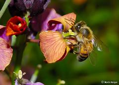 Bee pollinating a Wallflower