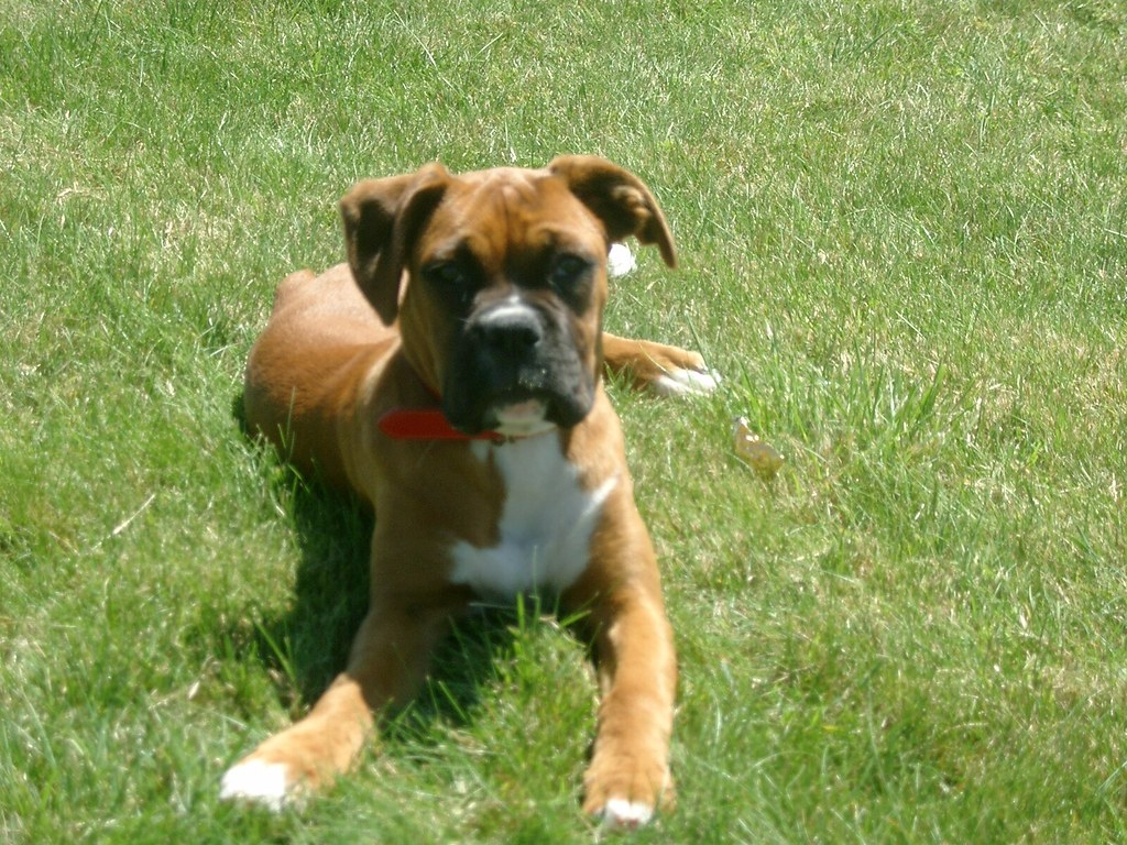 English Bulldog Boxer Mix Puppies For