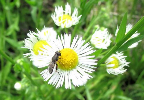 Bee and Daisy Fleabane