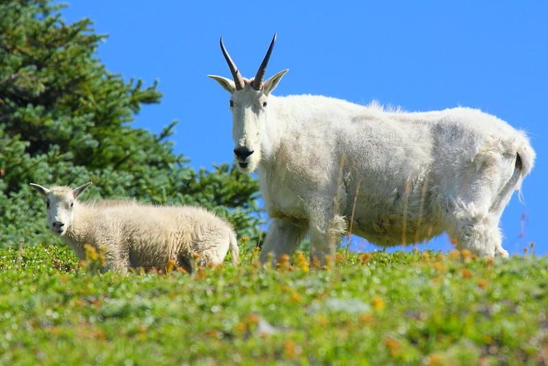 IMG_6079 Mountain Goat Nanny and Kid, Mount Rainier National Park