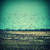 Field full of fowl, north of DuBois, Ill., U.S. Highway 51. #ondragontime #southernillinois #soill #618 #duboisil #highway #ontheroad #birds #waterfowl #fields #roadside