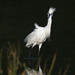 Snowy Egret by snooker2009