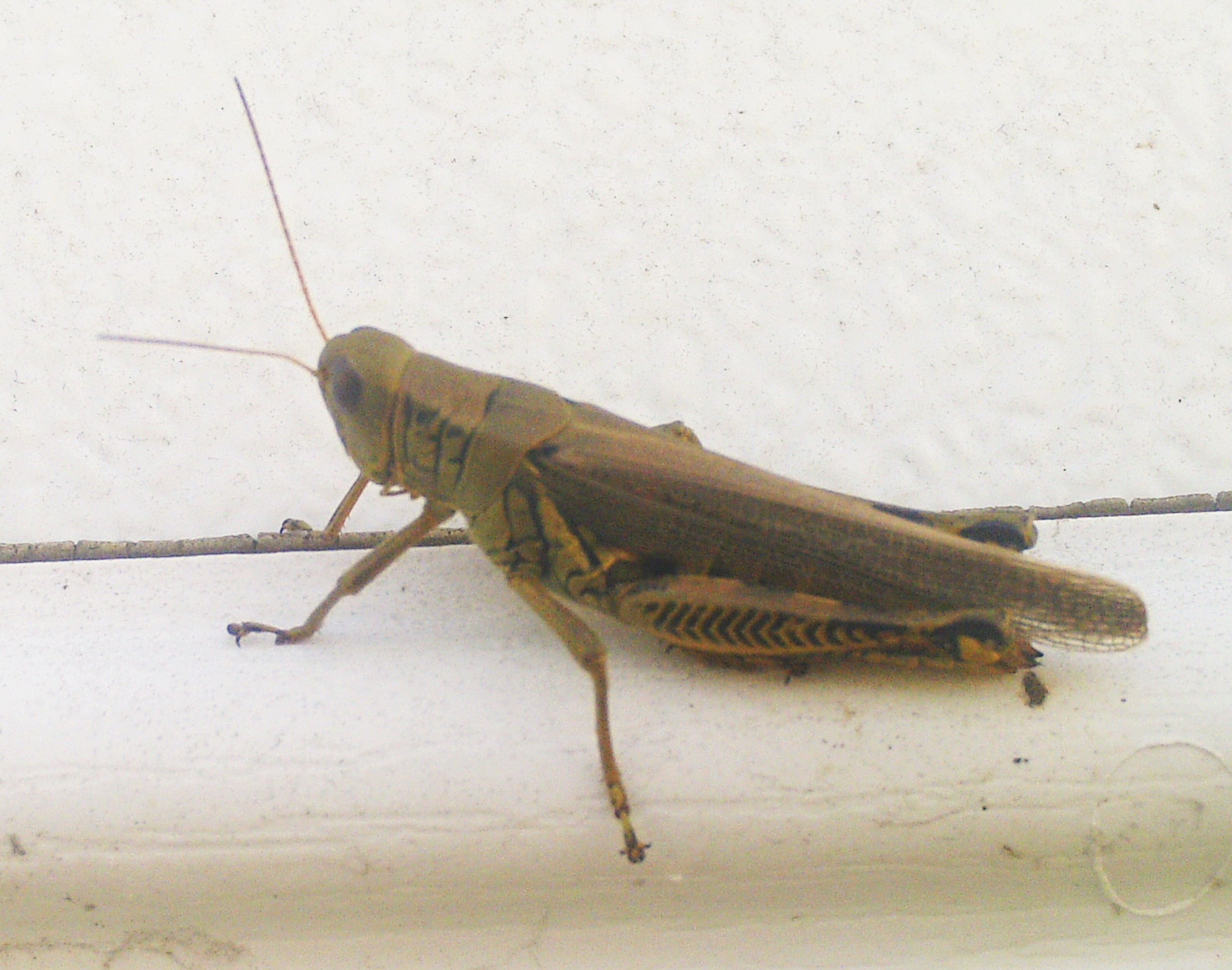 Huge Cricket or Locust