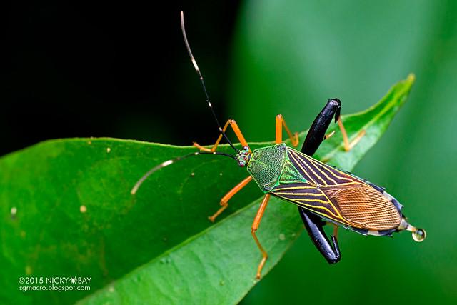 Squash bug (Coreidae) - DSC_3032