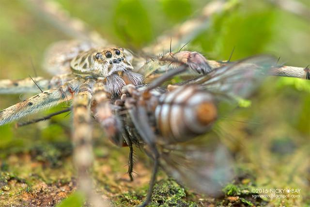 Long-legged water spider (Syntrechalea sp.) - DSC_4111