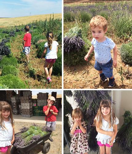 lavender harvest 2015