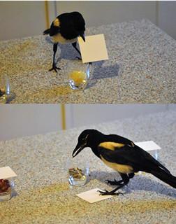 """Fig. 4. La Gazza (Pica pica) che per """"insight"""" arriva al cibo. Nella foto in alto l'uccello rimuove il coperchio, mentre in quella in basso si nutre del contenuto del bicchiere"""