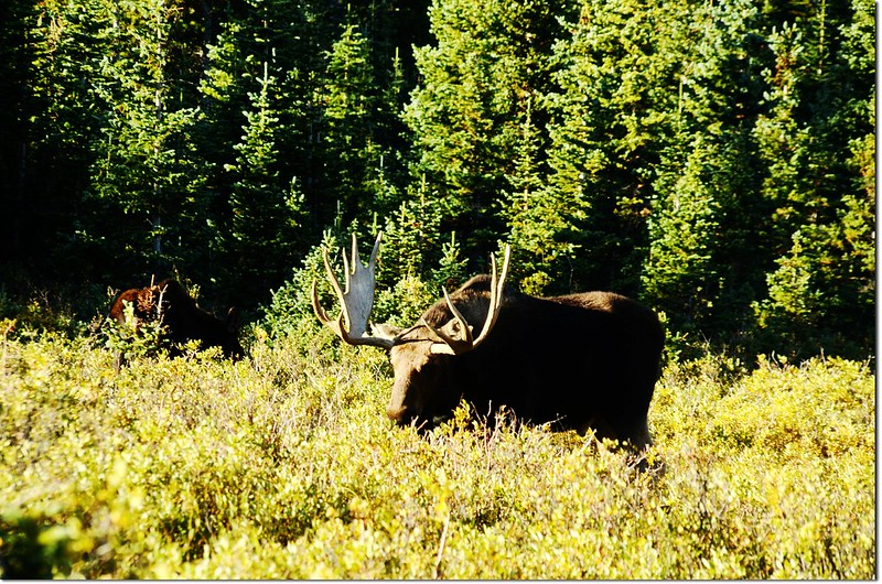Moose at Brainard Lake (19)
