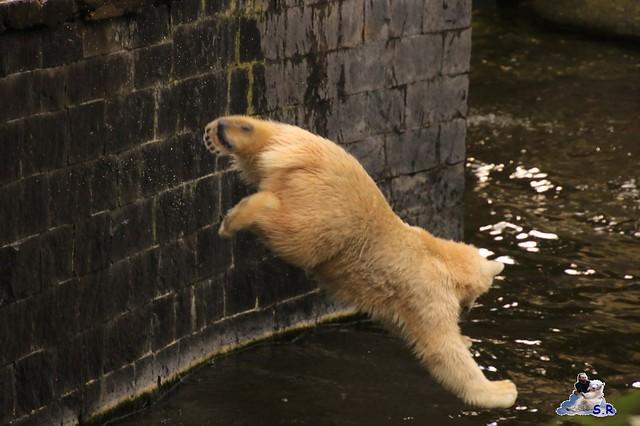 Eisbär Fiete im Zoo Rostock 26.09.2015   0113
