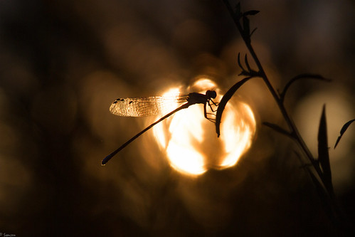 sunset sun lake canon insect eos evening dragonfly northcarolina raleigh 7d crabtree canonlens eveninghours ef70300mm ncstateparks canoneos7d lakecrabtreecountypark canon7d ncpark ef70300mmf456lisusm dragonflyandsunset
