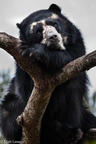 Spectacled bear on branch