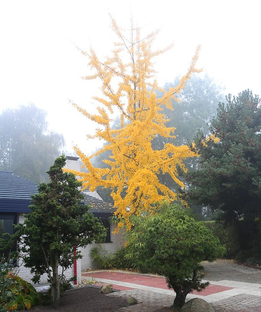 majestic Ginkgo biloba, fall and fog