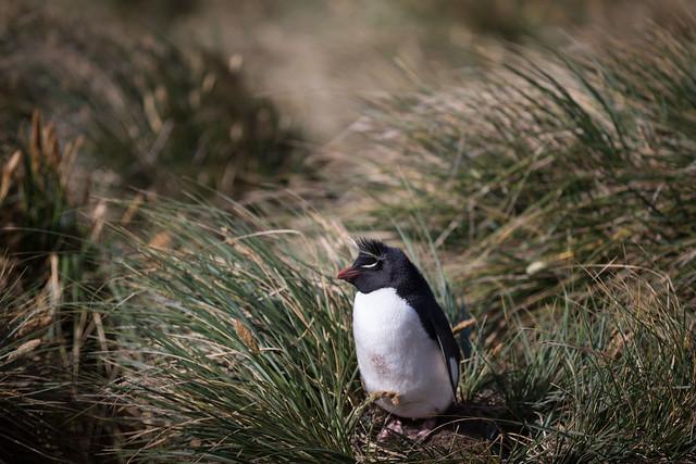Rockhopper Penguin, Falkland Islands