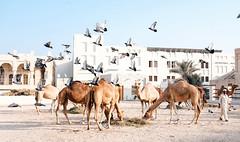 Camels & a flock of Birds