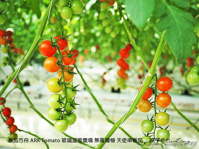番茄方舟 ARK Tomato 玻璃溫室農場 無毒種植 天使串番茄 35